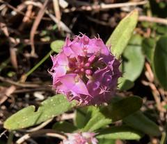 Cross-leaved Milkwort (Polygala cruciata) (John Scholze) Tags: crossleaved milkwort drumheads polygala cruciata wisconsin wetland wildflower