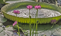 Nymphaea carpentariae (bric) Tags: kewgardens flowers waterlillies