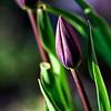 Opening Day (hz536n/George Thomas) Tags: cs5 canon canon5d ef300mmf4lisusm flora michigan prescott spring bokeh copyright nik tulip tulipa goldenhour flower upnorth