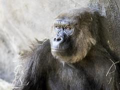 A Portrait of a Gorilla (DaveKav) Tags: gorilla thinking thinker pondering ponder thoughtful animal beard nature disney animalkingdom orlando florida portrait