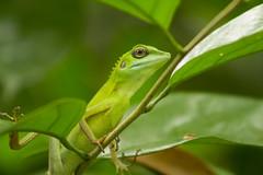 Camouflage.  #chameleon #travelphoyography #singapore #singaporezoo #nature #leaf #green (Jia9) Tags: leaf singaporezoo singapore chameleon nature green travelphoyography