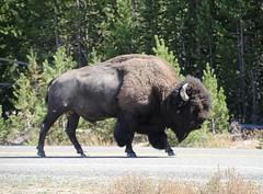 Yellowstone Park (patchais) Tags: yellowstone nationalparkservice nps wyoming buffalo bison tatonka