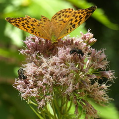 butterfly and friends (kexi) Tags: black pink flowers macro insects square wild nature bees butterfly gniazdowo polska july 2015 green brown instantfave wb690 samsung