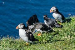 DSC06783.jpg (helmsch) Tags: iceland island 2016 tier papageientaucher reise flickr vogel