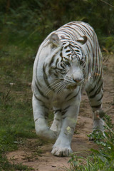 White One (StefSince1985) Tags: zoo tigreblanc tigre animal felin