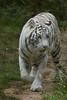 White One (StefSince1985) Tags: zoo tigreblanc tigre animal felin