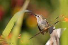 Anna's Hummingbird (Gregory Lis) Tags: annashummingbird calypteanna coquitlam britishcolumbia gorylis gregorylis nikond810 hummingbird