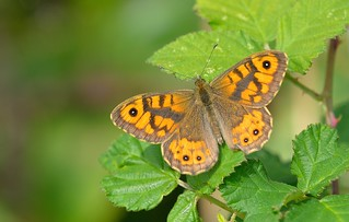 Wall Brown  (Lasiommata megera).
