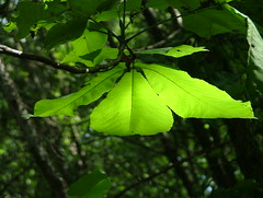 Trifecta (jHc__johart) Tags: leaves tree forest outdoors light sunlight opagc opksarboretum kansas