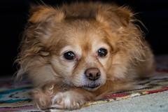 2.9.13 (marcidavis26) Tags: portrait dog animal cami rebelt4i