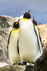 Pingino emperador II (Moises Robledo) Tags: penguin ave frio acuario artico loroparque pingino emperador