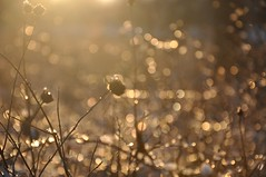 this ice is on fire (christiaan_25) Tags: winter light sunlight cold ice beauty sunshine gold golden evening glow afternoon shine bokeh sparkle refraction wildflowers prairie icy aglow alight