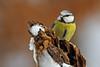 Cyanistes caeruleus- plavček (tomolowc) Tags: allofnatureswildlifelevel9