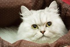 DSC_7634 (archiwu945) Tags: cat 寵物 貓 nikon1 nikon1v1