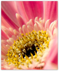 Gerbera Macro (Explore) (loobyloo55) Tags: pink flowers flower macro nature yellow canon flora explore gerbera explored explored15thfebruary2013