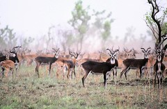 The White-eared Kob Antelope - Sudan (UNEP Disasters & Conflicts) Tags: africa sudan training environment climatechange drought conflict disaster peace development antelopes wildlife endangeredspecies whiteearedkobantelope unep unenvironment