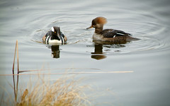 The Lecture (Hooded Mergansers in the Pond at Nisqually Wildlife Refuge) (Paul T. Marsh/PositivePaul) Tags: color bird animal olympia manualfocus hoodedmerganser nisquallywildliferefuge supertelephoto 2013 animalbehavior fujis3pro manualmetering lightroom3 wwwpaulmphotographycom paulmarshphotography nikon400mmf35ais
