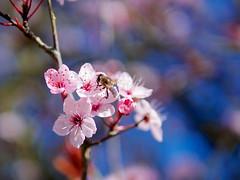 Cherry blossom 19th Feb (Aussie.in.Guernsey) Tags: flower bokeh olympus bee guernsey omd 25mm em5 leicadsummilux25mmf14