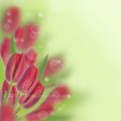 Beautiful red tulip (Oxana Denezhkina) Tags: family red summer woman white holiday plant blur flower color detail green art home nature floral beautiful beauty easter design spring flora colorful day natural bright blossom anniversary decorative background space postcard border decoration style blurred fresh card gift frame tulip present bunch bouquet concept celebrate copy greeting shining isolated