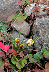 crocuses (joybidge) Tags: spring crocus springflowers victoriabc crocuses naturepatternscanada trishcanada tsfeb172013