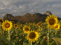 Thai Sun Flower Field Feld Sonnenblumen Tan Tawan Central Thailand Southeast Asia Asien (hn.) Tags: flowers copyright mountain mountains flower berg field asian thailand asia asien heiconeumeyer southeastasia sdostasien farm hill farming feld blumen hills berge mount sunflowers thai sunflower blume cultivation lopburi anbau sonnenblume copyrighted hgel sonnenblumen sunflowerfield sonnenblumenfeld centralthailand tantawan lopburiprovince zentralthailand mueanglopburi tp201213 nikhomsangtoneng mittelthailand