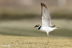 (North American Species# 508) Little Ringed Plover Takes Off (tinyfishy) Tags: park bird flying inflight asia little flight taiwan national tainan plover ringed