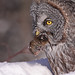 Great Gray Owl...#27 (time to dine)