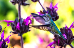 Hummer # 6 (Tongho58) Tags: hummingbirds hummer quailhill hummingbirdssage tongho58