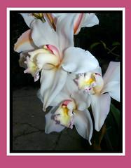 Cymbidium Exeter Tranquil Star (Ambar Tranquila x Lone Star) CC hybrid orchid , 1st bloom 2-13* (nolehace) Tags: sanfrancisco winter orchid flower star amber 1st bloom lone hybrid 213 cymbidium tranquila nolehace fz35