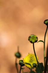 Get Growing#2 (akkaramkrishna) Tags: flowers india yellow canon flickr ngc hyderabad lr t3i 600d 55250 flickraward award5 blinkagain siaphototags