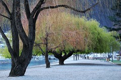 Spring in Queenstown, New Zealand (scinta1) Tags: newzealand southisland otago queenstown lake wakatipu tree willow green shore beach trunk view calm tranquil serene extraordinarilyimpressive