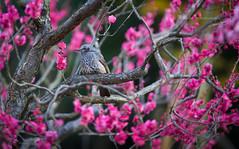 signs of spring [explored] (Lucas Shu) Tags: park pink flower tree bird nature animal japan afternoon expo plum explore osaka ume brid banpaku mygearandme mygearandmepremium mygearandmebronze mygearandmesilver mygearandmegold vigilantphotographersunite vpu2 vpu3 vpu4