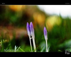 The Crocuses Are Crying (tomraven) Tags: blue colour 50mm prime spring sony crying crocus jonimitchell littlegreen tomraven aravenimage nex6 rememberthatmomentlevel1 rememberthatmomentlevel2 rememberthatmomentlevel3 q12013
