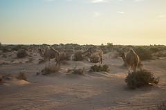 The road to Laayoune (jbdodane) Tags: africa bicycle camels day126 desert morocco sahara westernsahara freewheelycom western cyclotourisme cycling velo cycletouring jbcyclingafrica