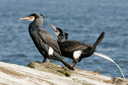 Cormorants And Shags, Shetland