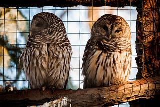 barred owls at tracy aviary