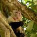 Una scimmia capuccino nel Manuel Antonio