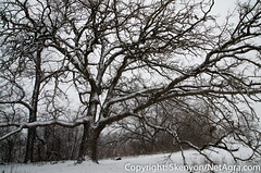 oak_during_the_snow (NetAgra) Tags: winter white snow black cold wet wisconsin oak nikon effort stoughton yaharariver creepedout flickraward nikonflickraward nikon7000