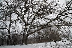 oak_during_the_snow (NetAgra) Tags: winter white snow black cold wet wisconsin oak nikon effort stoughton yaharariver creepedout flickraward nikonflickraward nikon7000