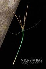 Twig Spider (Ariamnes sp.) - DSC_5924 (nickybay) Tags: macro spider singapore twig theridiidae admiraltypark ariamnes