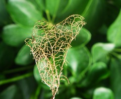 Leaf's skeleton (Victoria Ocampo) Tags: old brown flower cute green leave photography photo 3d natural little background magic adorable dimension effect depresivo edit pequeo naturally depressing divertido delicado doloroso