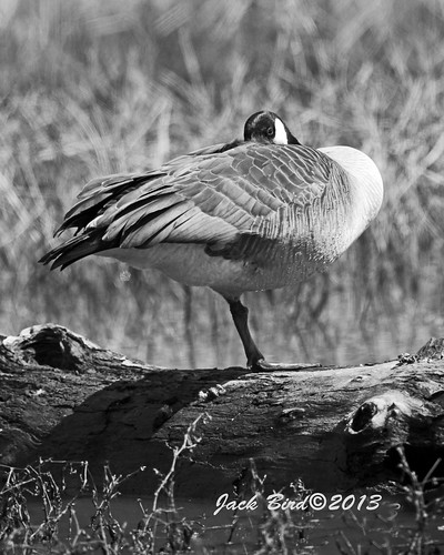 Napping Goose By Jack Bird