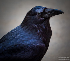 Portrait of a Raven (Charlotte Hamilton Gibb) Tags: california black bird valley yosemite raven blackbird valleyview charlottegibbphotography