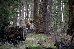 Sharing Trail (Reptilian_Sandwich) Tags: trees wild summer plants mountains newmexico green animal forest walking outdoors solitude hiking bull solidarity rack remote elk alpha stalking encounter conifer filteredlight aldoleopoldwilderness blackrange