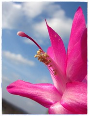 Gliederkaktus - On Explore - 2013-03-27    #112 (eagle1effi) Tags: cactus flower cacti favoriten flora flickr bestof photo