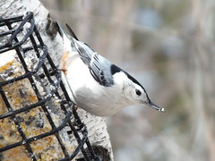White-breasted Nuthatch On Suet Feeder, Wayne 10 (RonG58) Tags: pictures new trip travel light usa color bird film nature birds fauna forest geotagged photography us photo spring woods flora raw day image photos live wildlife wayne birding maine picture images photograph digitalcamera migration tori exploration habitat mori whitebreastednuthatch photooftheday picoftheday waynemaine birdwalk passerines greatphotographers loiseau fugifilm suetfeeder natureplus lafort natureexploration elpjaro thewonderfulworldofbirds dervogel finepixhs20exr rememberthatmomentlevel1 rong58