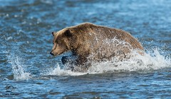 Following the Splash (Glatz Nature Photography) Tags: bear blue alaska wildlife splash predator brownbear salmonrun ursusarctos cookinlet pred coastalbrownbear fishingbear hganimalsonly