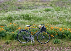 Specialized Expedition and California Poppies (djk762) Tags: california flowers expedition bicycle bag cargo ostrich b17 poppies eschscholzia brooks specialized californica tubus