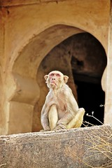 Bundi_monkeys 63 (peteypistolero) Tags: travel india nature wildlife monkeys rajasthan macaques bundi travelphotography travelphotos langurs peteypistolero canonrebelt2i peteschnell
