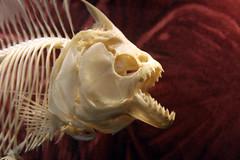 Chomp, Chomp! (When lost in.....) Tags: iowa catfish mississippiriver dubuque piranha riverboats easterniowa nationalmississippirivermuseumandhalloffame
